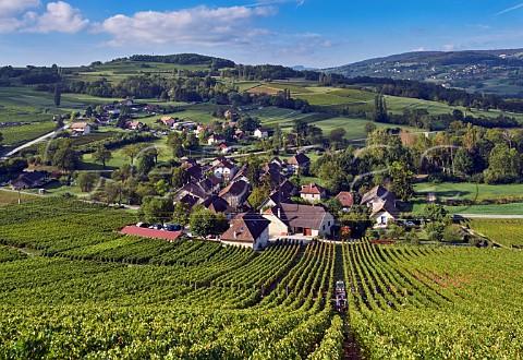 Altesse harvest in Savoie