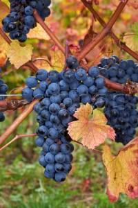 Douce Noire rare grapes